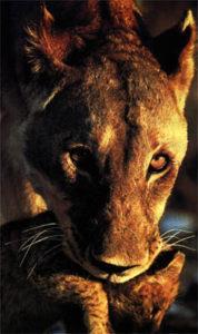 Foto de um Leão