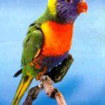lory arco iris