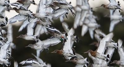 maçarico-de-bico-direito islandês (Limosa limosa islandica)