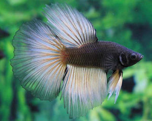 Photo do Betta splendens